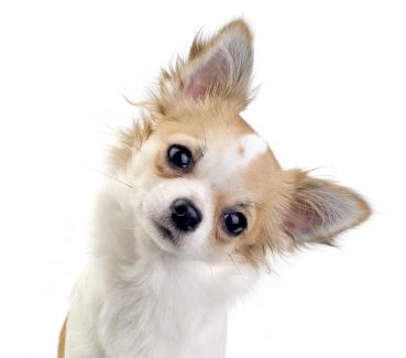 Teach Chihuahua To Dance