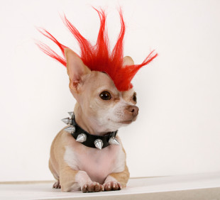 Chihuahua hair loss