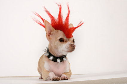 Chihuahua Hair Loss - Allergies Or Illness