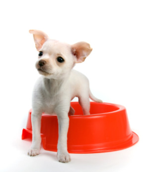 Chihuahua puppy training