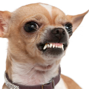 how to stop a chihuahua barking