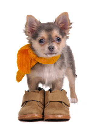 chihuahua shoes