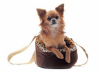 Louis Vitton Chihuahua Bag