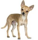 deer head chihuahua is not a different breed the deer head chihuahua